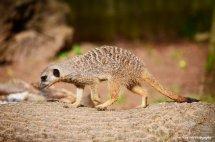Meerkat Stroll