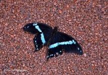 Narrow Banded Swallowtail