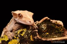 New Caledonian Crested Gecko 3
