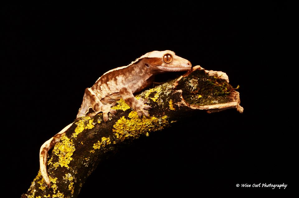 New Caledonian Crested Gecko 2