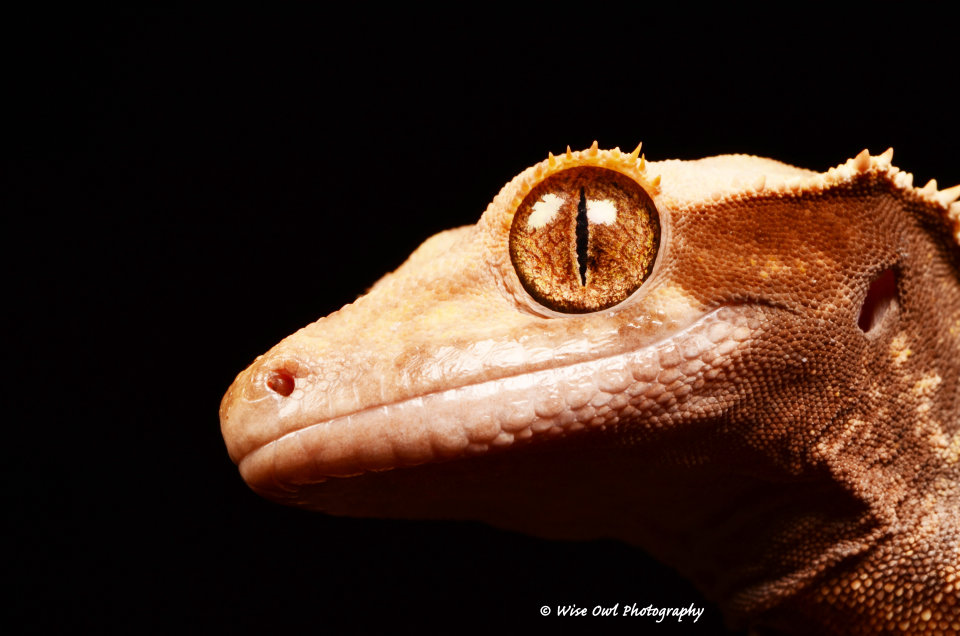 New Caledonian Crested Gecko 4