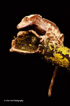 New Caledonian Crested Gecko 5