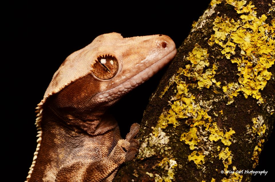 New Caledonian Crested Gecko 6