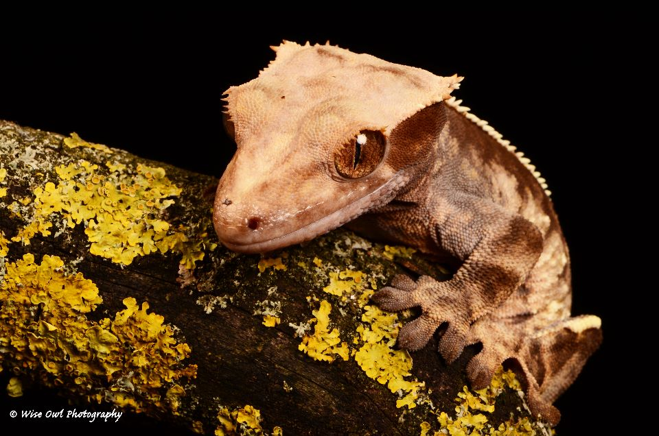 New Caledonian Crested Gecko 7