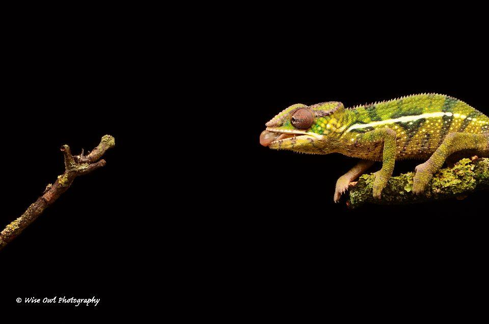 Panther Chameleon 3
