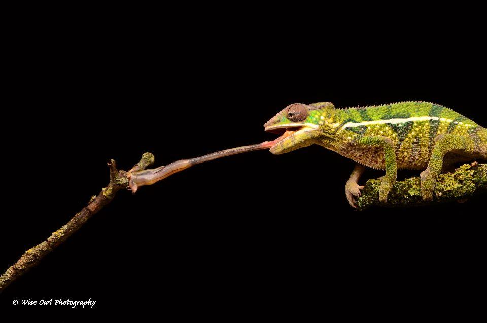 Panther Chameleon 4