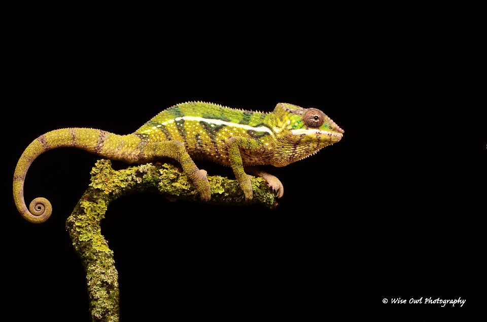 Panther Chameleon 1