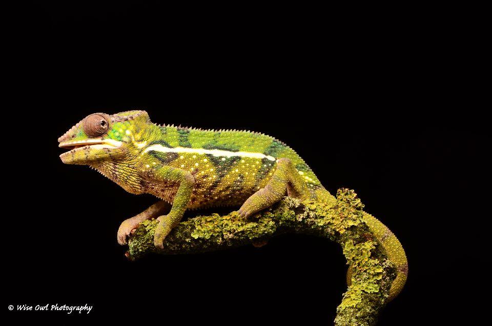Panther Chameleon 6