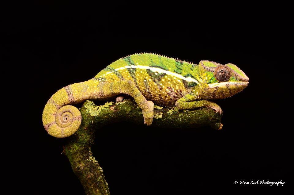Panther Chameleon 7