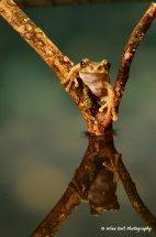 Peacock Tree Frog 8