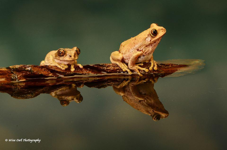 Peacock Tree Frog Duo 1