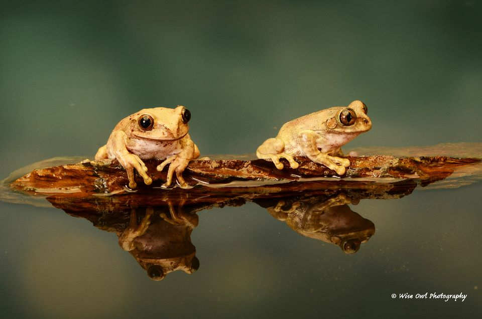 Peacock Tree Frog Duo 2