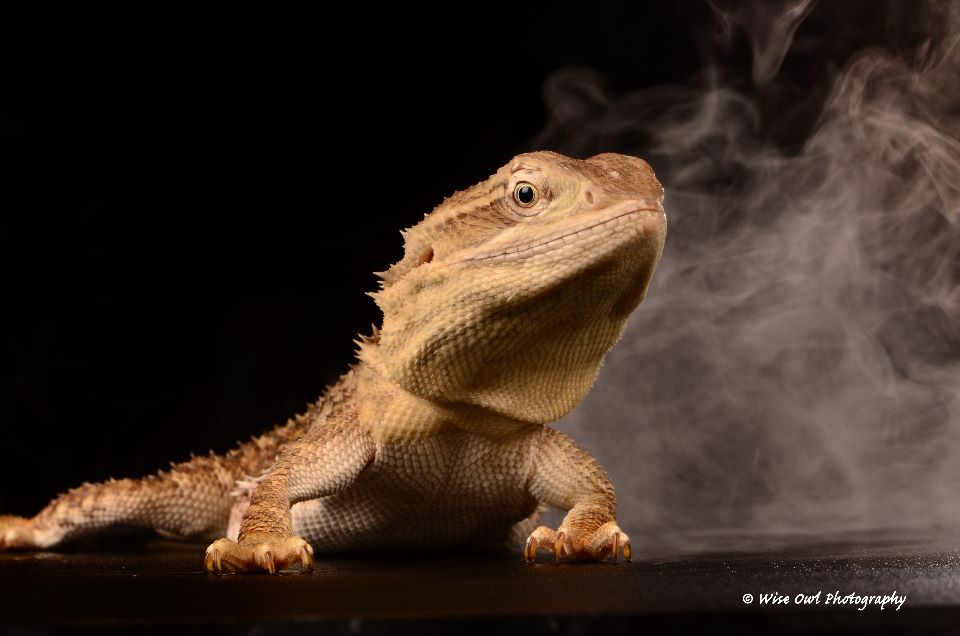 Rankins Dragon Lizard 1