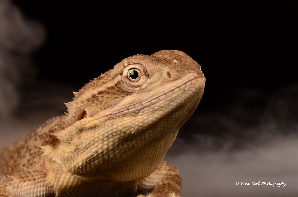 Rankins Dragon Lizard 2