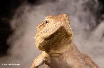Rankins Dragon Lizard 3