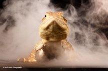 Rankins Dragon Lizard 4