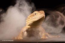 Rankins Dragon Lizard 5