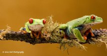 Red Eyed Green Tree Frog - Pair 1