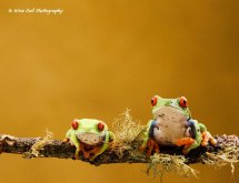 Red Eyed Green Tree Frog - Pair 2