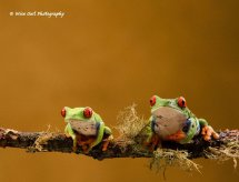 Red Eyed Green Tree Frog - Pair 3