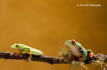 Red Eyed Green Tree Frog - Pair 4