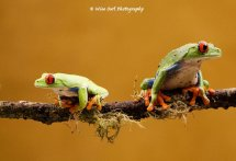 Red Eyed Green Tree Frog - Pair 5