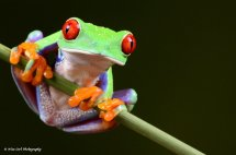 Red Eyed Green Tree Frog 1