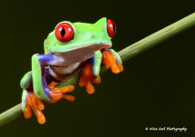 Red Eyed Green Tree Frog 3