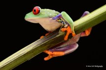 Red Eyed Green Tree Frog 4