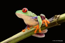 Red Eyed Green Tree Frog 5