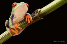 Red Eyed Green Tree Frog 6