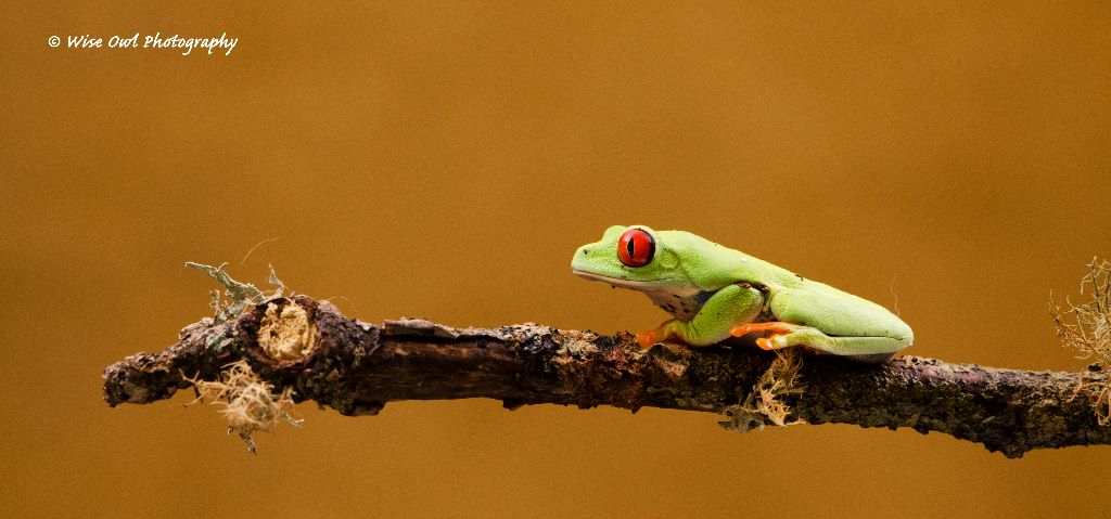 Red Eyed Green Tree Frog 10