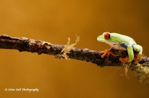 Red Eyed Green Tree Frog 11