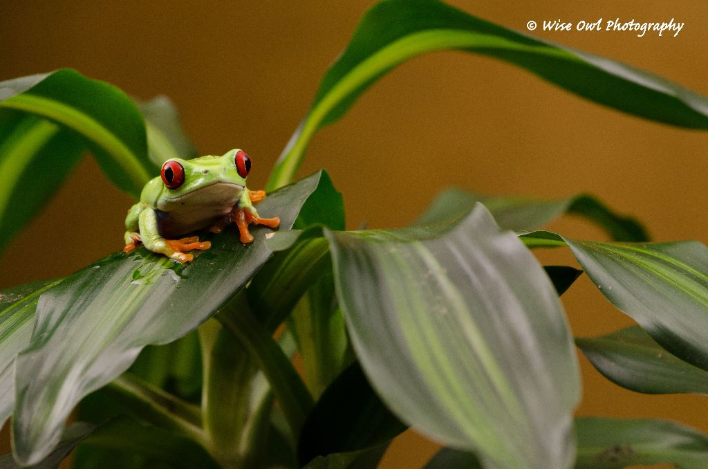 Red Eyed Green Tree Frog 12