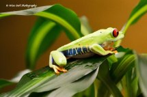 Red Eyed Green Tree Frog 14
