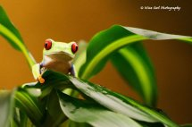 Red Eyed Green Tree Frog 15