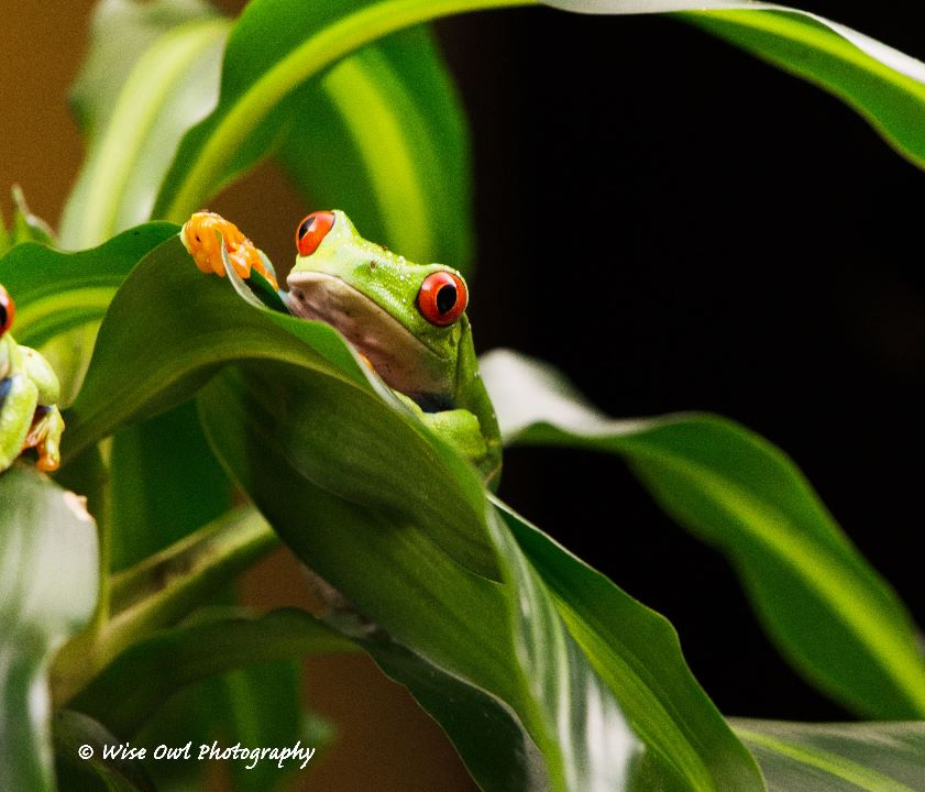 Red Eyed Green Tree Frog 16