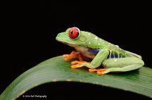 Red Eyed Green Tree Frog 7