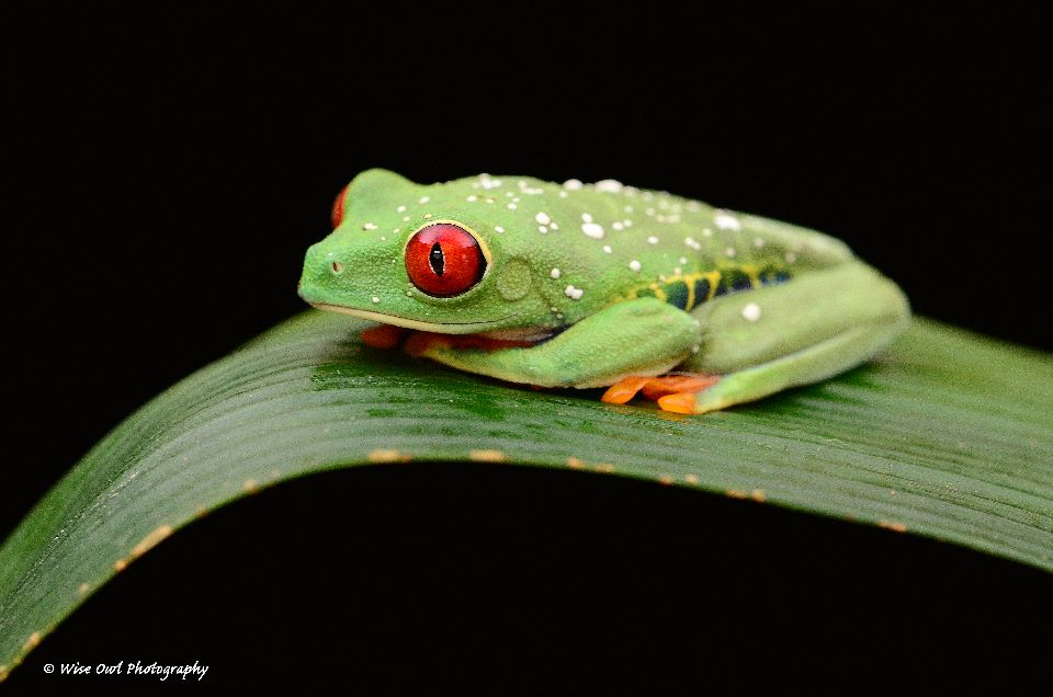 Red Eyed Green Tree Frog 8