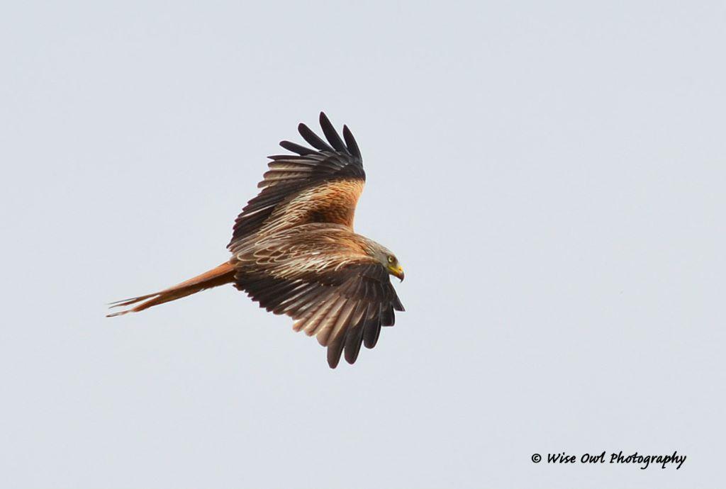 Red Kite 4