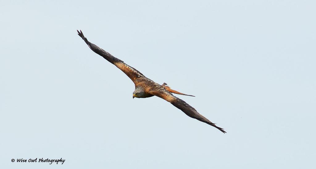 Red Kite 5
