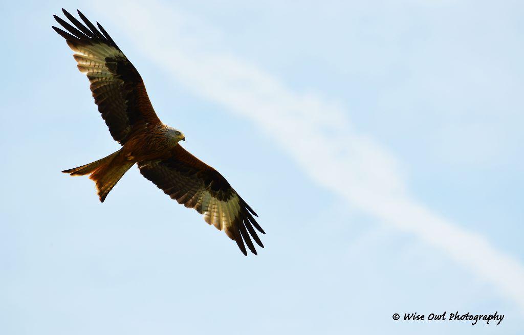 Red Kite 6