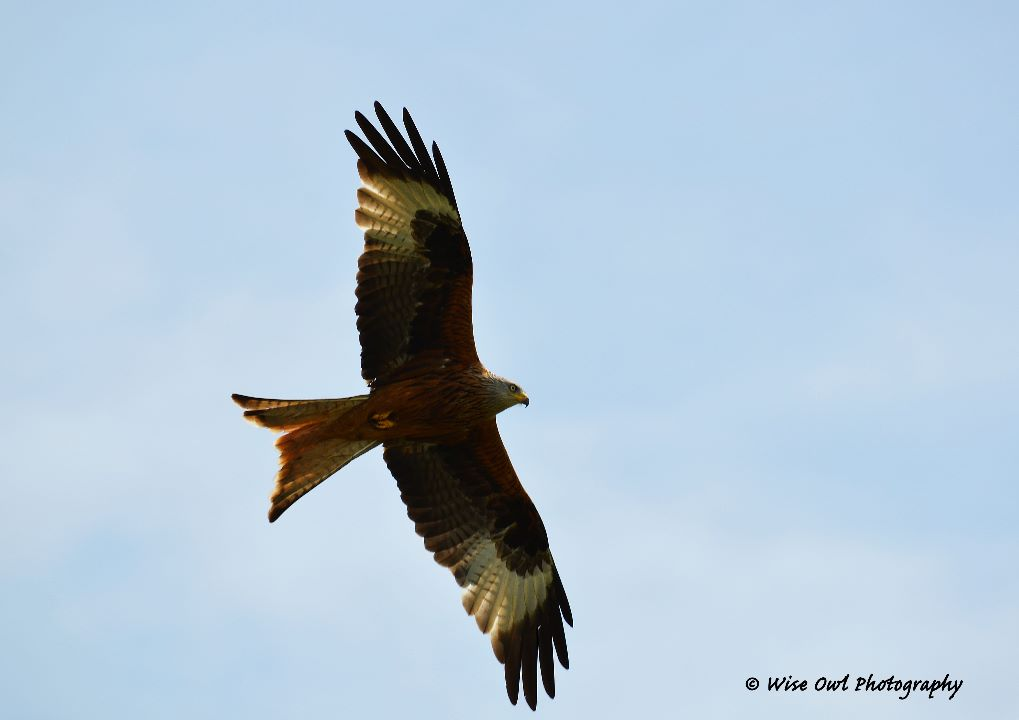 Red Kite 7