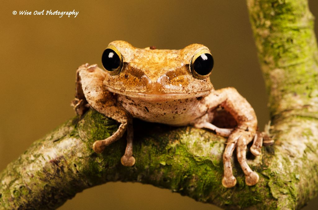 Rough Frilled Frog 1