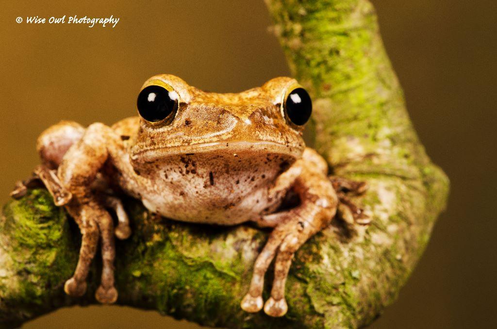 Rough Frilled Frog 2