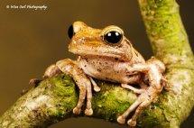 Rough Frilled Frog 3