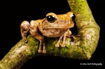 Rough Frilled Frog 4