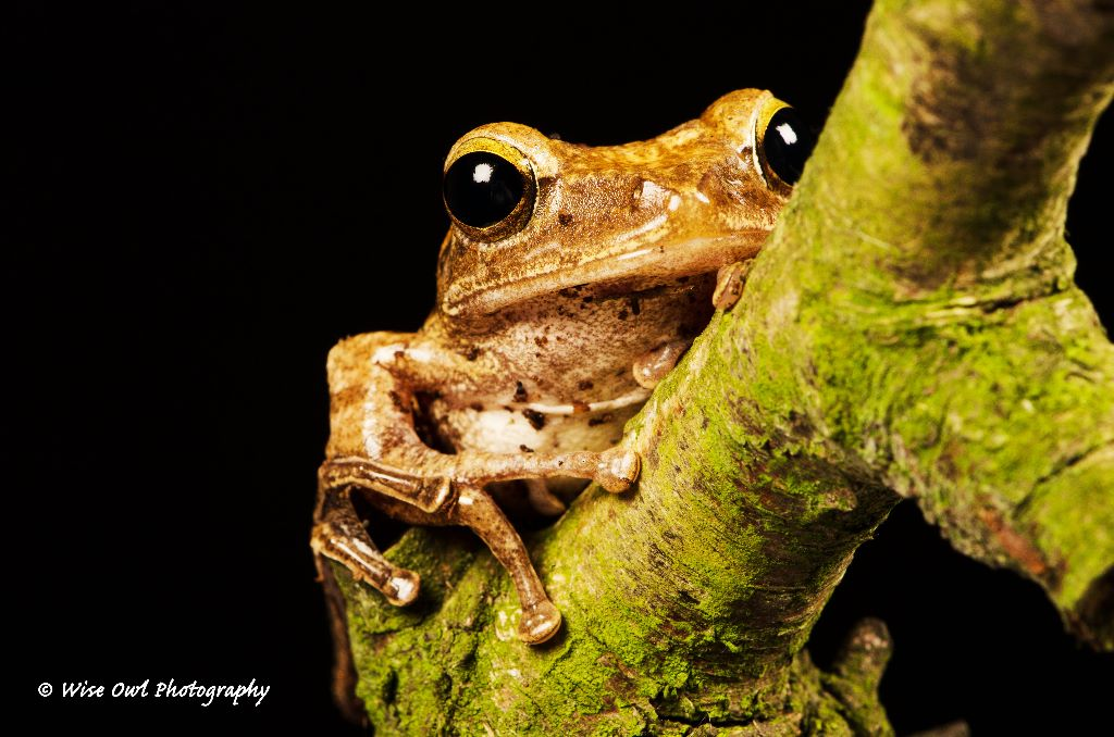 Rough Frilled Frog 5