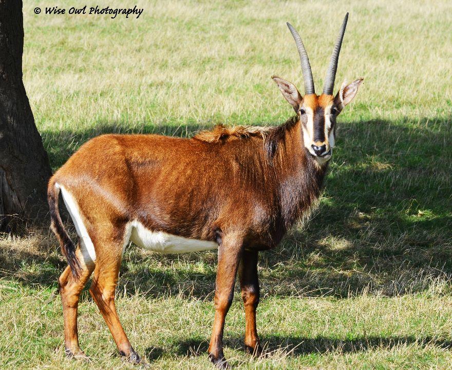 Sable Antelope 2