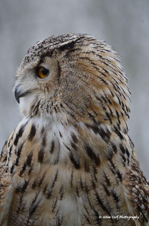Siberian Eagle Owl 7